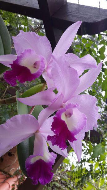 purpleorchid