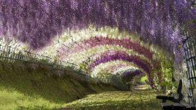 wisteriapic